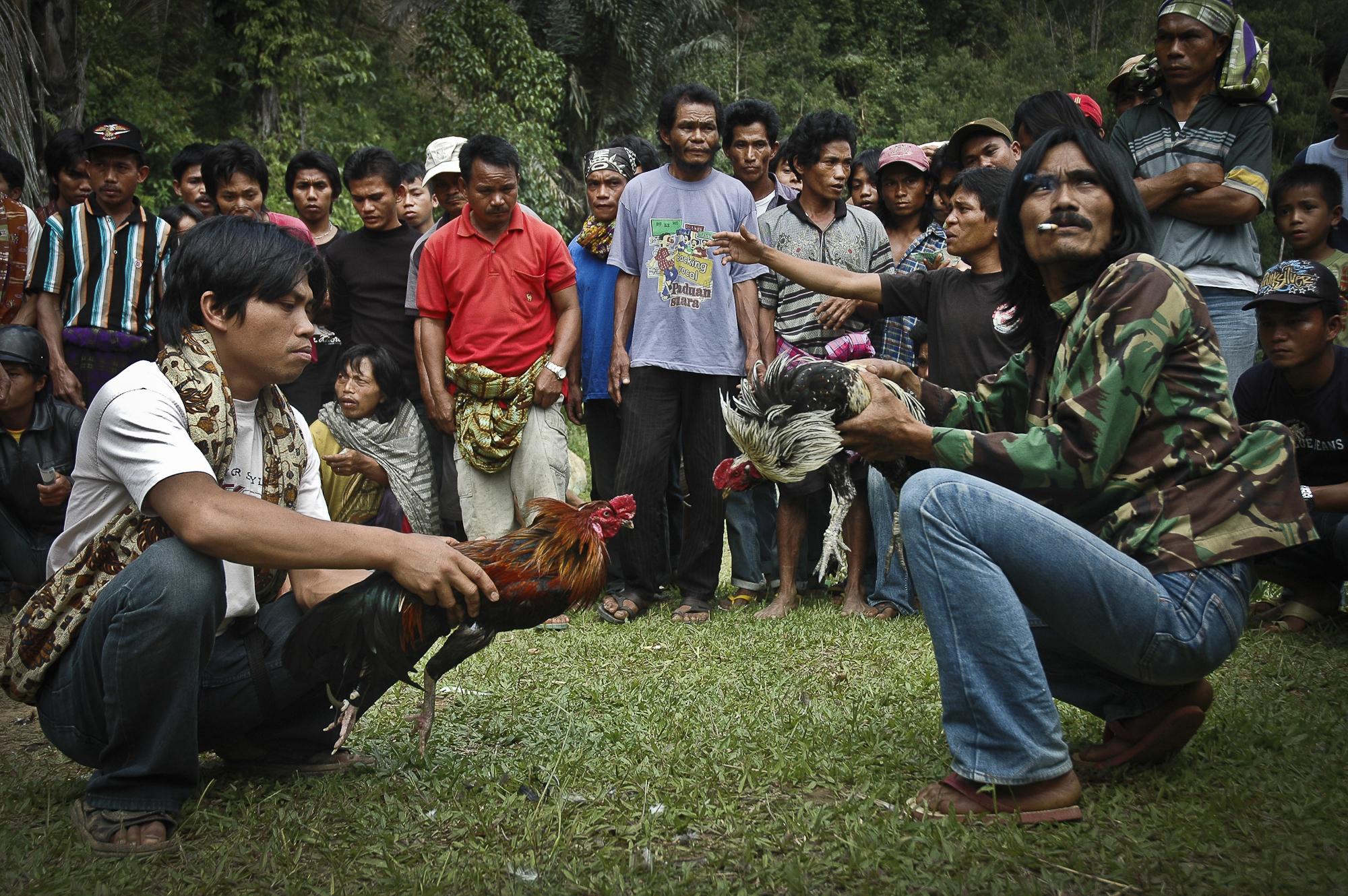 Walki kogutów na wyspie Sulawesi, fot. Anna Lewańska